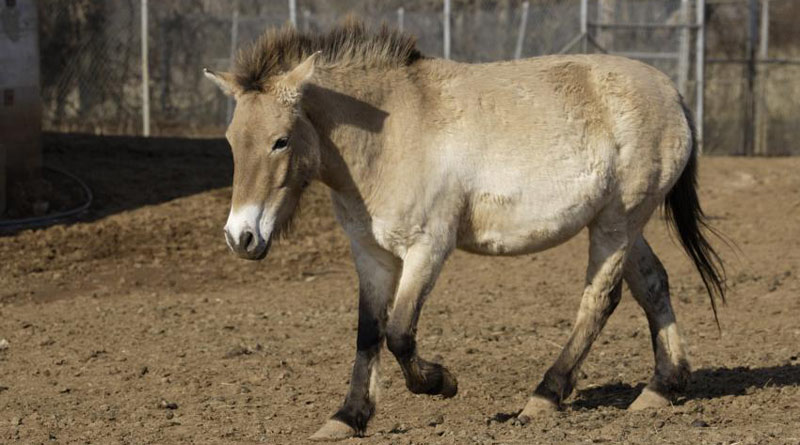 Przewalski's horse Maja has died of renal failure at the age of 13.