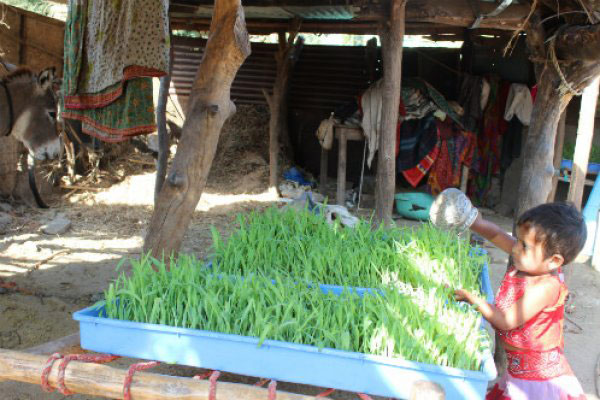 The whole family is involved in growing green fodder for their donkeys.