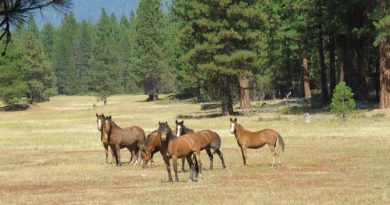 Native Kiger horses grazing fire fuels in the national forest