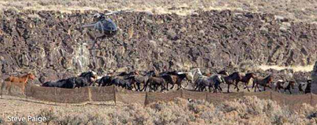 A BLM contractor's helicopter musters wild horses during the fall 2016 Owyhee Complex roundup in Nevada. Photo: Steve Paige.