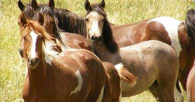 The total on-range and off-range population of wild horses has more than doubled from about 55,000 in the year 2000 to about 113,000 in 2016, according to BLM estimates. Photo: BLM / GAO-17-680R