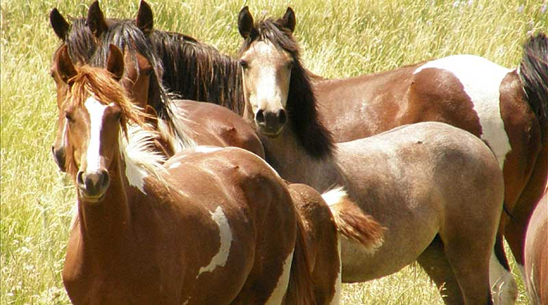 Wild horses in the US. Photo: BLM / GAO-17-680R