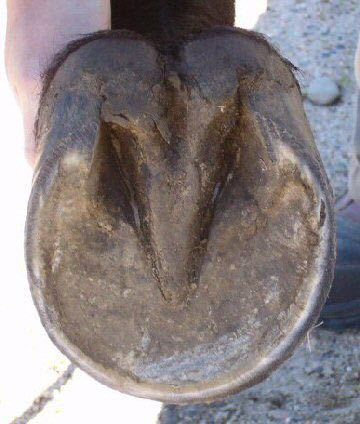 The underside of a horse's hoof.