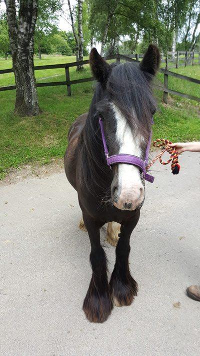 World Horse Welfare Beau