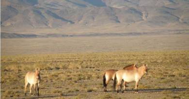 Przewalski's horses became extinct across their natural rangelands, but have been reintroduced from captive stock. Photo: Natalia Spasskaya