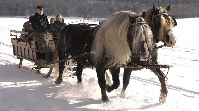 Black Forest Draught Horses are considered an endangered breed. Photo: Carl Steinbeisser, Public domain, via Wikimedia Commons
