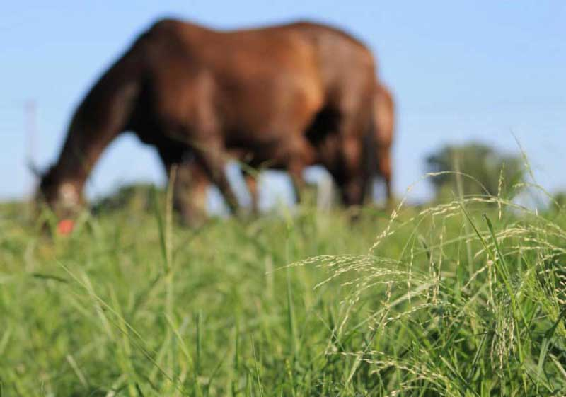 A horse grazes annual warm-season grasses in St Paul, Minnesota. Photo: Michelle DeBoer