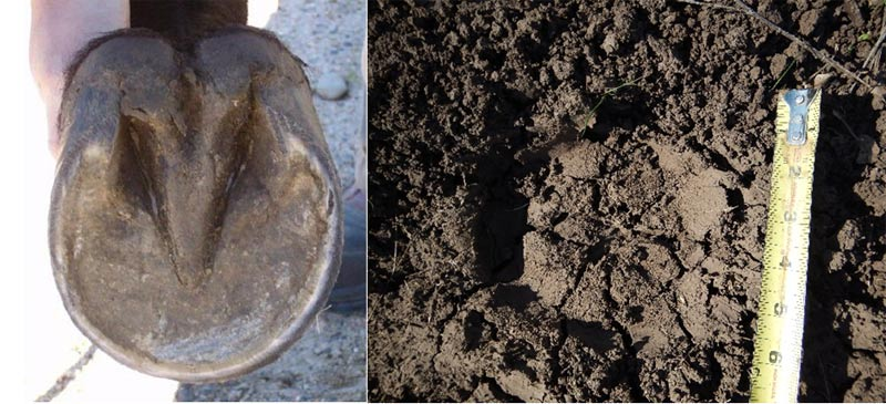 The horse's round hoof design allows it to 'float' hydraulically on the soil surface.
