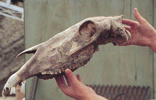 A horse skull from the Klondike goldfields.