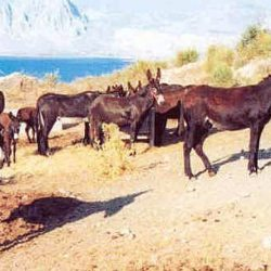 The Asini di Pantelleria is bred on the island of Pantelleria to the south-west of Sicily. They can move in a töllt gait, like the Icelandic horse.