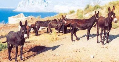 The Asini di Pantelleria is bred on the island of Pantelleria to the south-west of Sicily. They can move in a tolt gait, like the Icelandic horse.