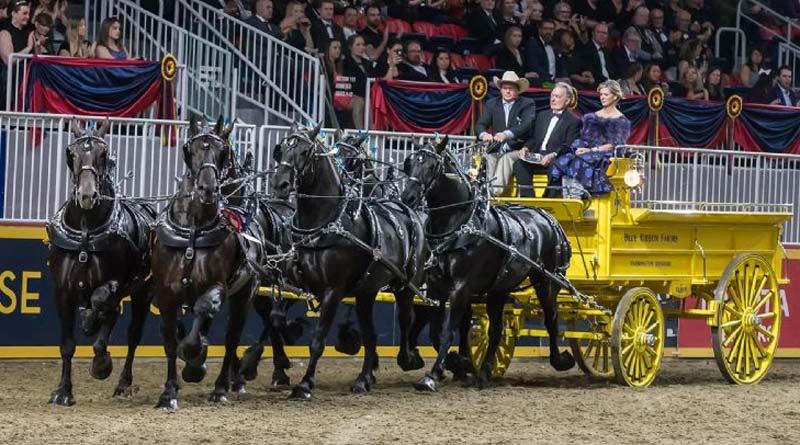 Blue Ribbon Days Percheron won the $25,000 Royal Six-Horse Draft Championship on closing nightof the 2017 Royal Horse Show in Toronto, Ontario.