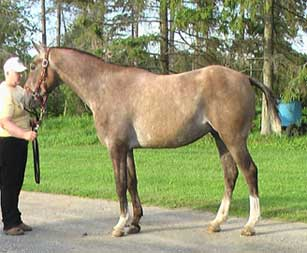 Jondra Moonwalk, also AA, is owned by the late Andrea Shcaap. The horse shows a sparse mane and tail.