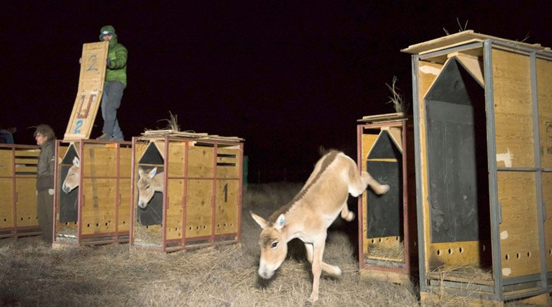 A kulan foal takes its first steps to freedom in its new home in Altyn Dala in central Kazakhstan.