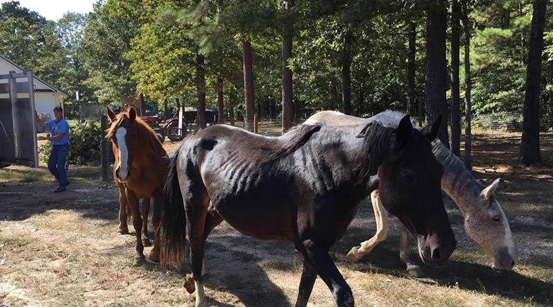 "Some of the ""Hallelujah Horses"", FOL's latest rescue mission of some 900 horses."