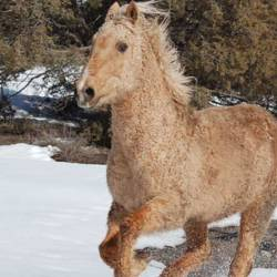 Curious twists in the genetics of horses with curly coats