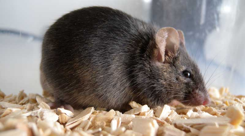 New double-transgenic rodent models were used to identified the mode of action of stem cells. Photo: University of Veterinary Medicine, Vienna