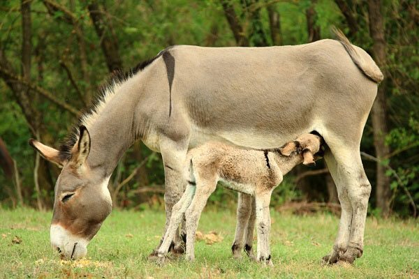 The Romagnolo donkey is a native breed of the Emilia-Romagna, and derives from the Pugliese ass.