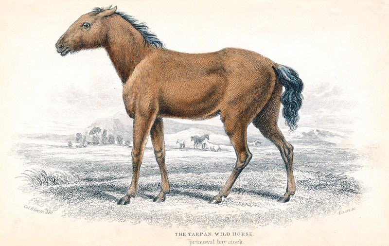 A brown Tarpan on open land, painted in 1830 by William Home Lizars.