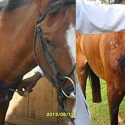 Police horse hit by vehicle successfully treated for massive brisket wound