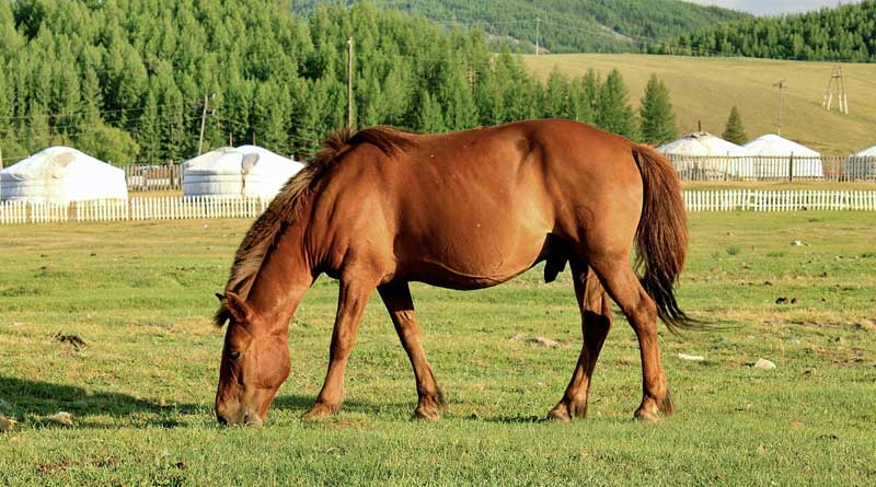 A stocky Mongolian horse grazes near traditional ger tent dwellings. Photo: Marcin Konsek https://creativecommons.org/licenses/by-sa/4.0 via Wikimedia Commons