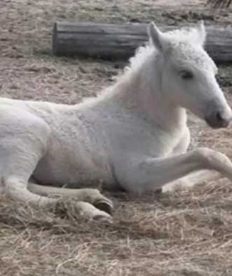 Ivy, a Spanish mustang owned by George Kurek, of Dizzy Horse Farms, shows her winter curly coat.