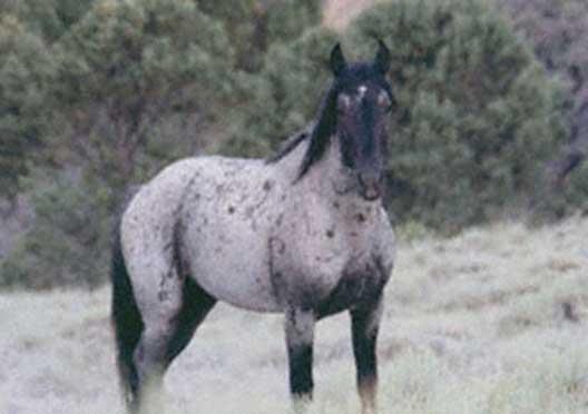 A wild Sulphur stallion, in the Sulphur Herd Management Area.