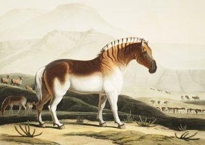 Samuel Daniell (1775-1811) captured the elegant quagga (Smithsonian)
