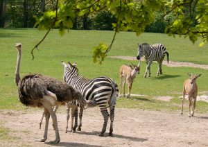Grant's zebras are smaller than the other subspecies.