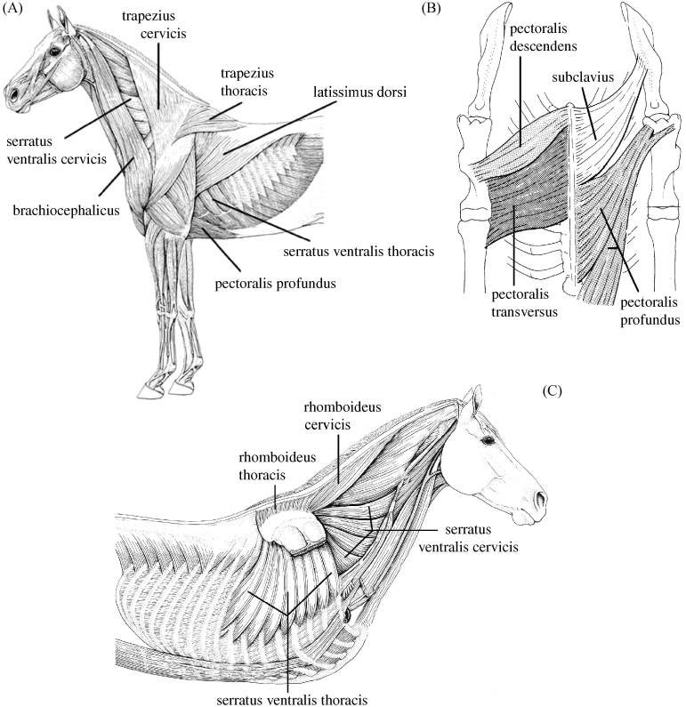 )Lateral view of extrinsic thoracic limb muscle anatomy. (B) Ventral view of extrinsic thoracic limb muscle anatomy. (C) Deep view of extrinsic thoracic limb muscle anatomy (Figures adapted from König & Liebich, 2004).