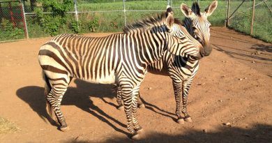Death of Hartmann's mare a big loss for endangered zebra subspecies