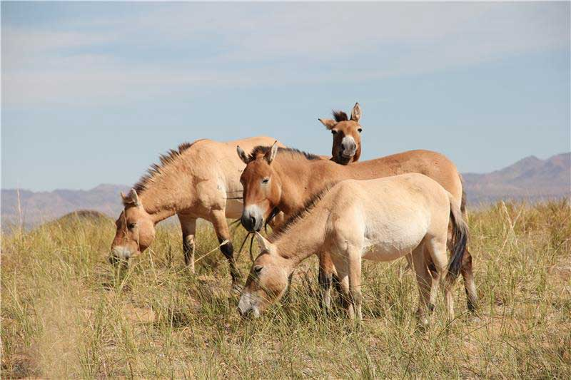 Przewalski's horses in the Seer reintroduction reserve, Mongolia. Photo: © Ludovic Orlando / Natural History Museum of Denmark / CNRS