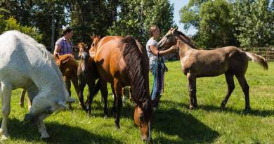 Researchers at South Dakota State University have found antibodies against influenza D in blood samples from horses in the Midwest. Photo: South Dakota State University