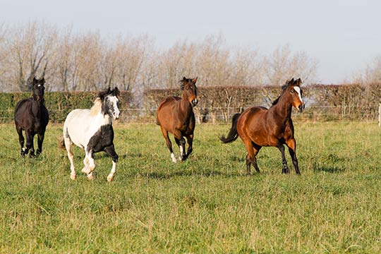 Turning your horse out with more active field companions can encourage him to move around more.
