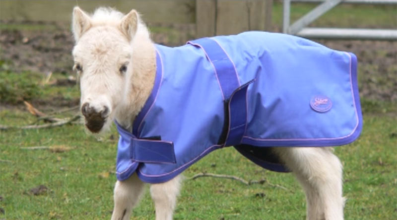 Shetland pony Tinkerbelle was born at Redwings shortly after the rescue of nearly 100 horses and donkeys from Spindles Farm.