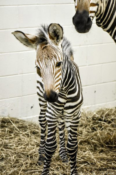 Athena was born at Virginia Zoo on March 5.