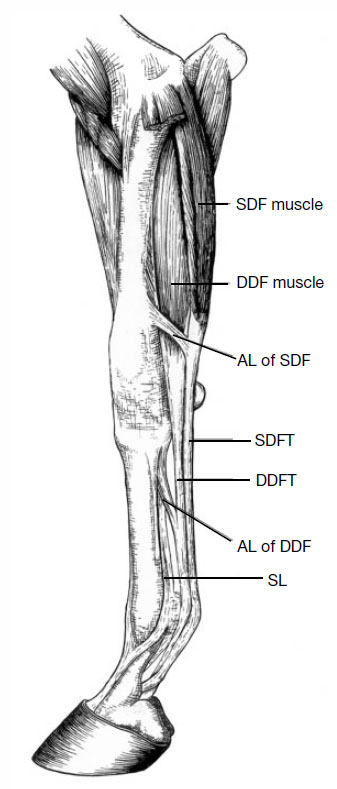 Equine distal forelimb (medial view) showing segments below the elbow, and the tendons and muscles that resist compression of the limb by the effect of gravitational and inertial forces during the stance phase of locomotion. This part of the limb is about 1m long in a 450kg thoroughbred racehorse.