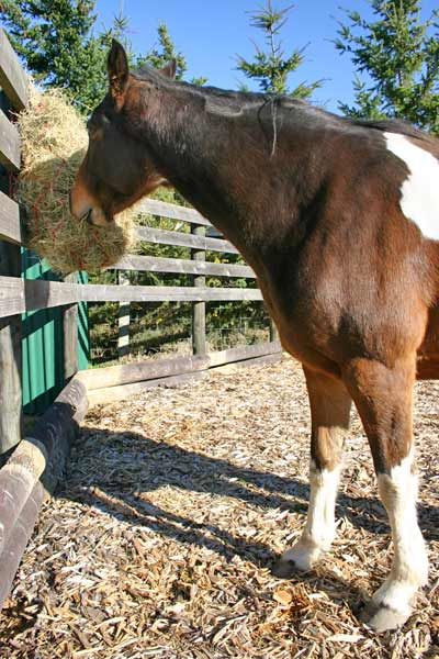Feeding horses in sync with their natural instincts and physiology requires that they have forage available any time they want it.