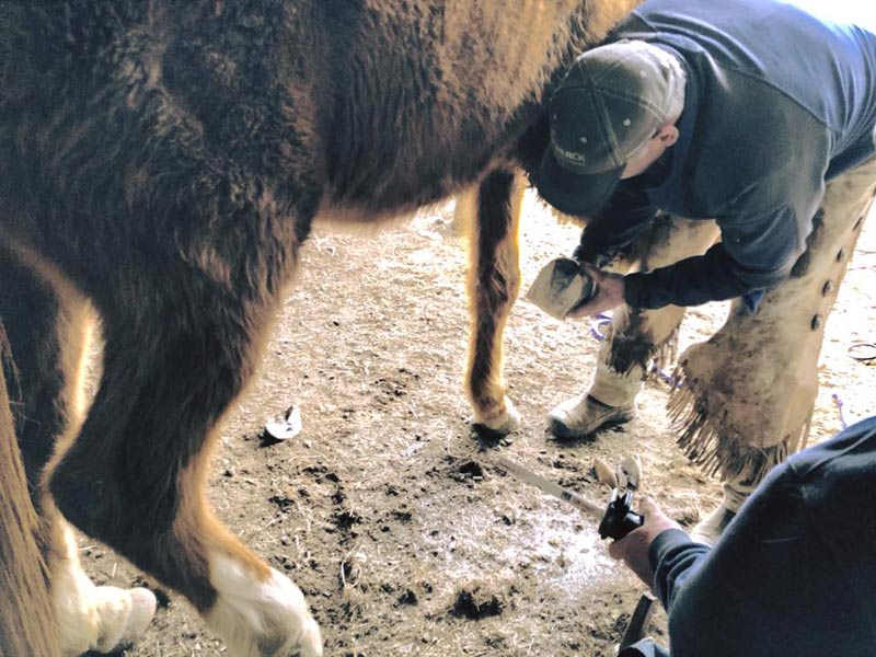 One of the 75 horses receiving urgent hoof care.