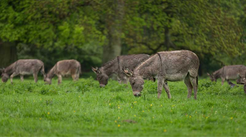 The updated donkey genome provides new clues about the evolution of the species. Photo: Gabriel Renaud