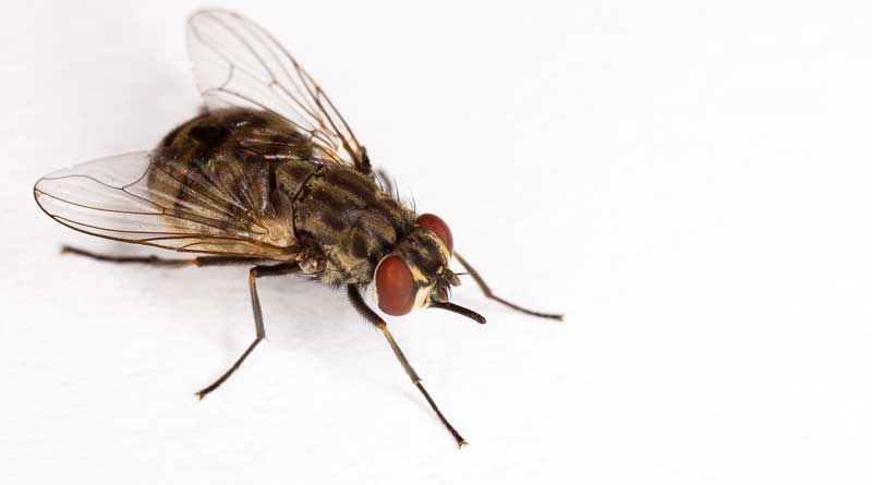 The adult stable fly, Stomoxys calcitrans, is one of many biting, blood-feeding insects. Photo: Stephen Ausmus.