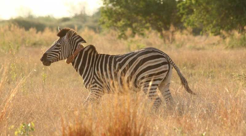 A zebra fitted with a Royal Veterinary College collar in Botswana. Photo: Tatjana Hubel