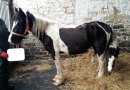 """Against the odds, """"miracle mare"""" survives ragwort poisoning"""