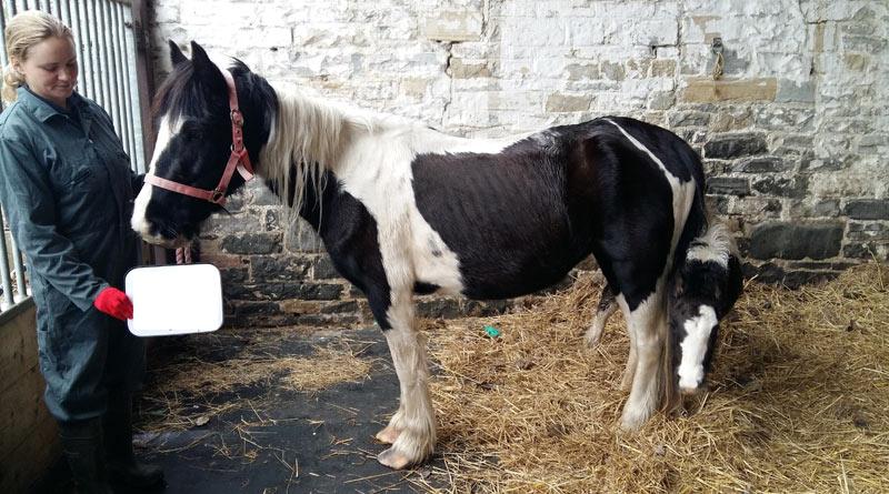 Dolly and Rocket on arrival at World Horse Welfare's Glenda Spooner Farm.