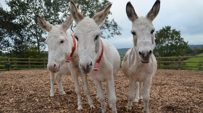Miniature donkeys Chip, Spud and Wedge.