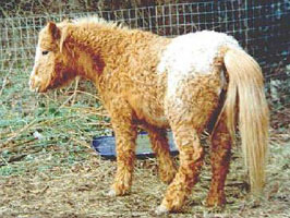 A pony with PPID or Cushing's syndrome.