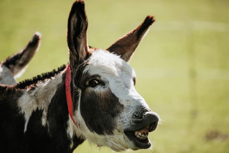 """A donkey displaying the """"flehmen response"""", a reaction to a new or interesting smell."""