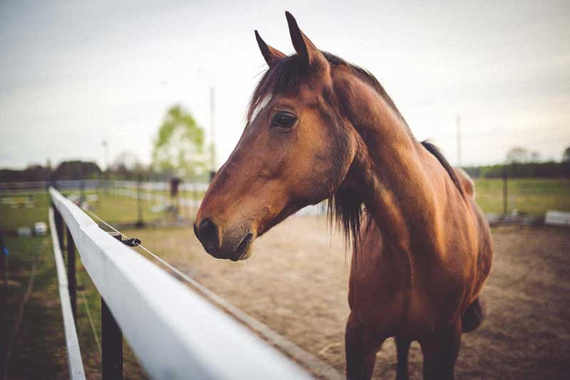 The live attenuated equine flu vaccine was reported to be effective in a small trial. Photo: University of Rochester Medical Center