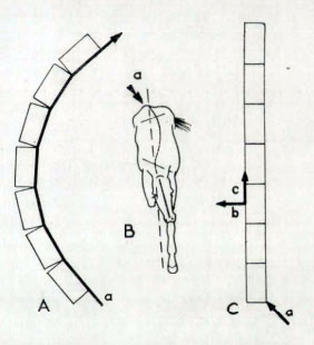 Lateral bending of the vertebral column during locomotion From Contribution to the Biomechanics of the vertebral column