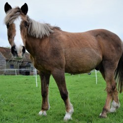New research reveals that older horses need an appropriate diet and management plan to help minimise the risks associated with insulin dysregulation such as laminitis. © Claire Dyett / Spillers